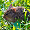Shy Meadow Vole