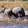 Hippopotamus Warning<br /> Chobe River, Botswana