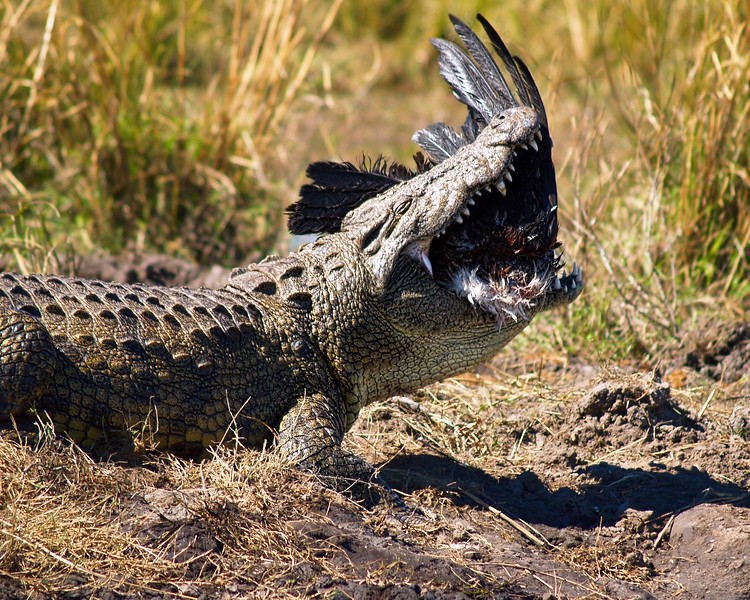 A Nile Crocodile trying to swallow an African Fish Eagle. <br /> Chobe River, Botswana