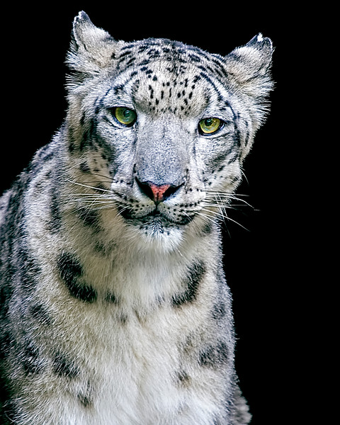 June2015Trip-1761 Snow Leopard