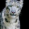 June2015Trip-1761 Snow Leopard