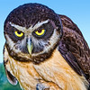 """Are You My Lunch?"" <br /> Spectacled Owl<br /> Center for Birds of Prey, Awendaw, South Carolina"