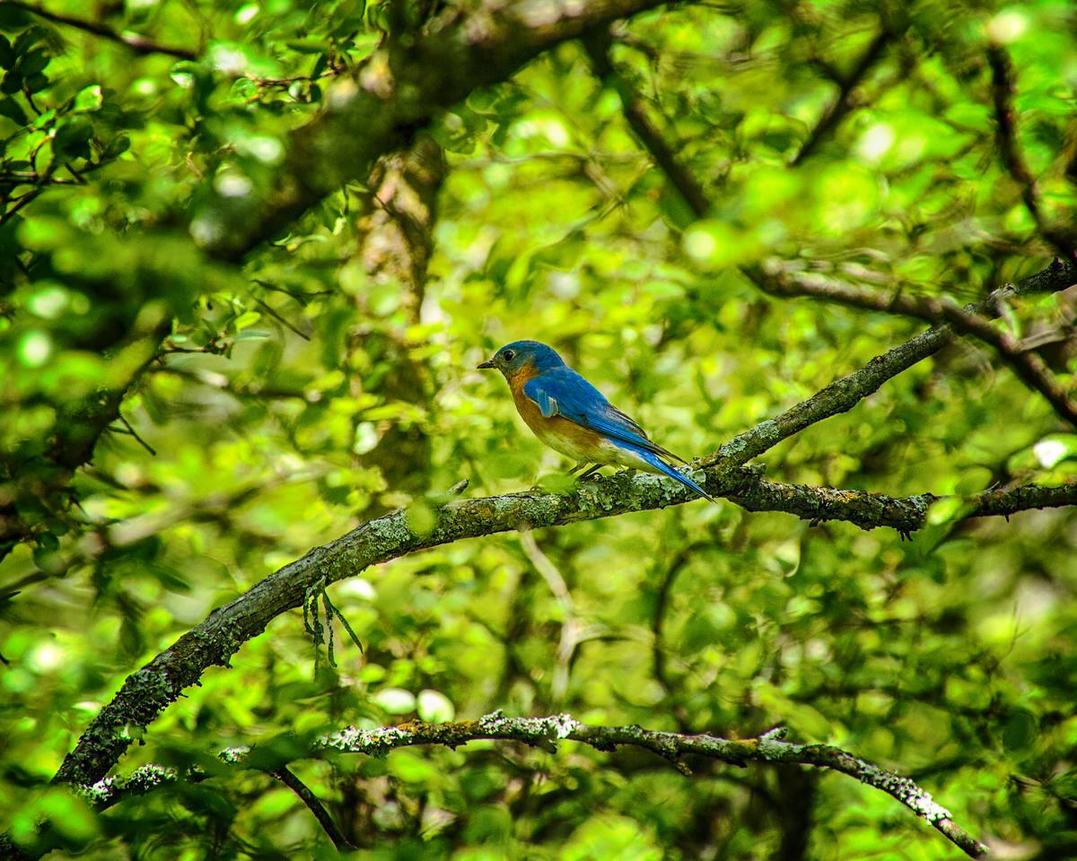 Hagerman_NWR 6330 (Bluebird)