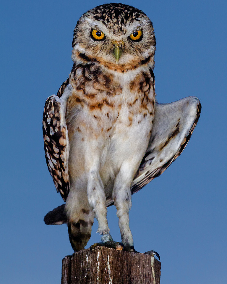 CenterBirdsOfPrey2014-1222 (Burrowing Owl)
