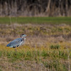 Great Blue Heron-0288