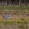 Great Blue Heron-0288