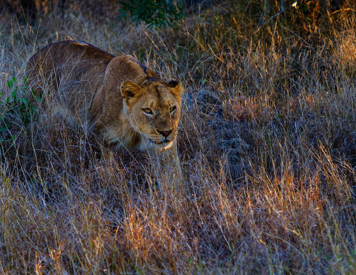 Ngala0713PM-7293 Lioness Stalking