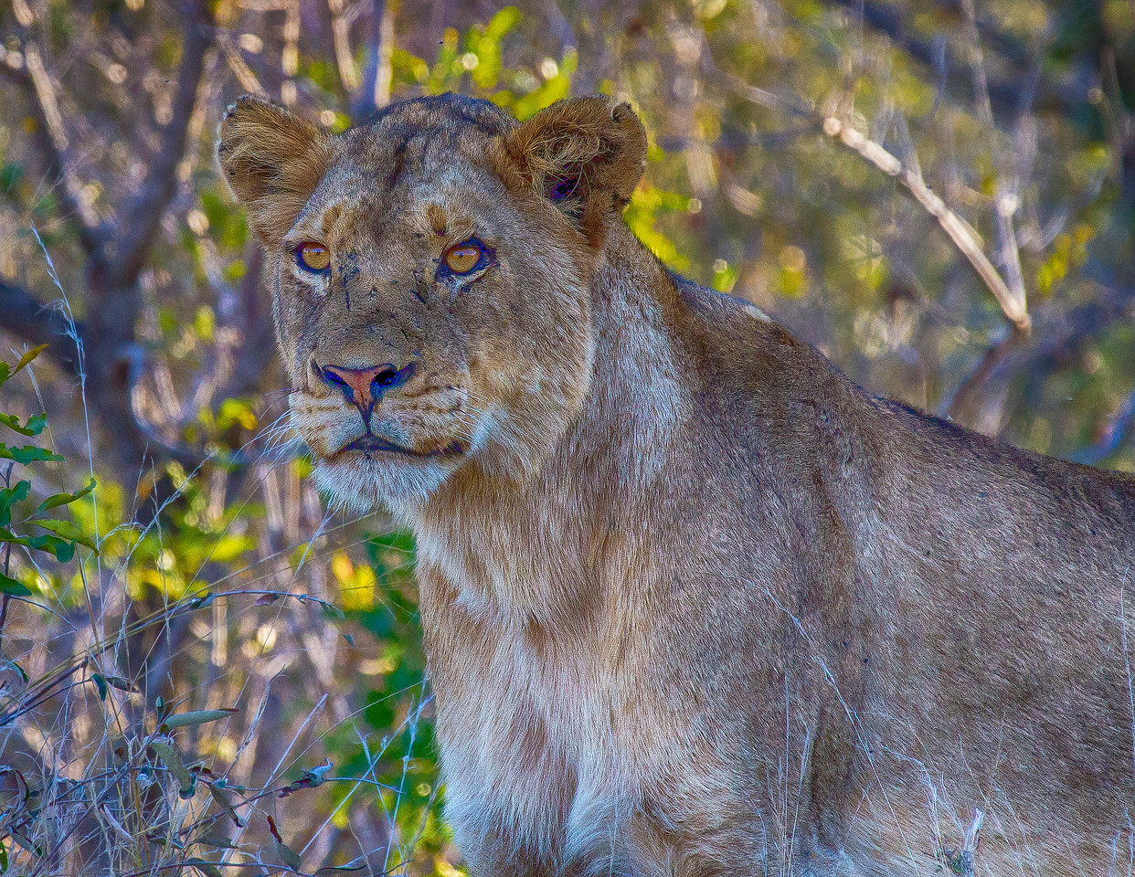 Ngala0713PM-7201 Young Lioness