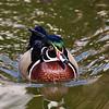 FWZ Wood Duck