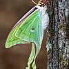 Luna Moth-3874
