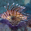 AquariumLionfish