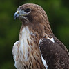 Red_Tailed_Hawk-1532