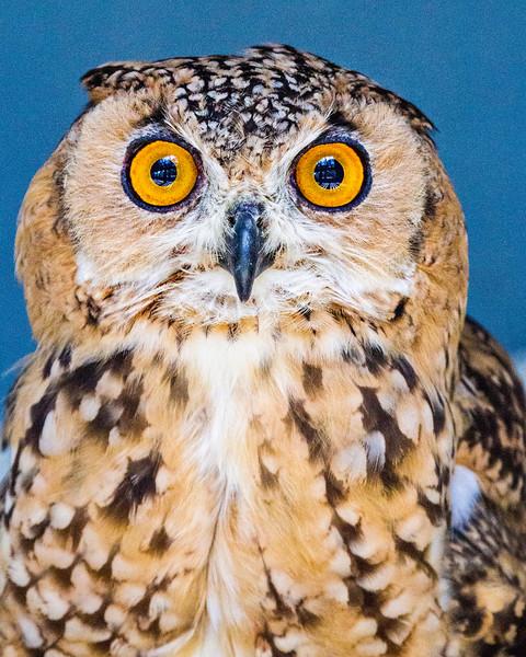 CenterBirdsOfPrey2014-1033 (savigny eagle owl)