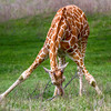 Giraffe -1922