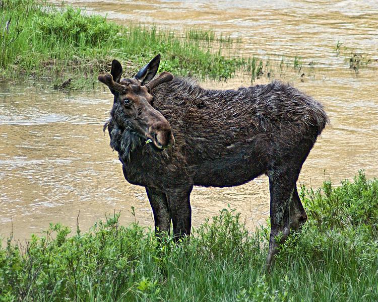 Munching Bull Moose<br /> Yellowstone National Park