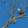 Bald Eagle Hagerman_NWR_2013-8908