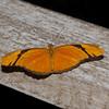 Julia Butterfly-6103