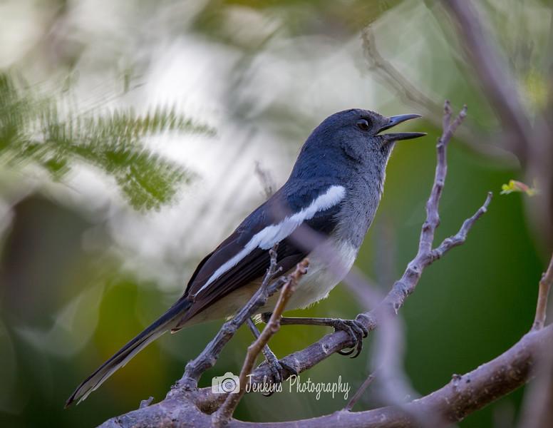Oriental magpie-robin (female)
