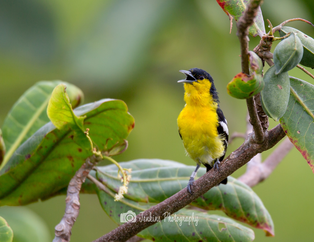 Common Iora Male