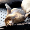 """The sea lions camped out in PIER 39's West Marina have been endearingly coined, """"Sea Lebrities."""" The boisterous barking pinnipeds started arriving in droves, taking over the docks in January 1990 shortly after the 1989 Loma Prieta earthquake. At first they numbered from 10-50, but due to a plentiful herring supply, available dock space and the marina's protected environment, the population grew to more than 300 within a few months. Each winter, the population can increase up to 900 sea lions, most of which are male. During the summer months, the sea lions migrate south to the Channel Islands for breeding season, but in recent years a small group stays year-round at PIER 39's K-Dock."""