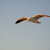 Seagull soaring high above the San Francisco Bay.