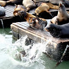 The Sea Lions love to play with each other and it seems as though the winner is the one who has the whole Pier to himself!  They push each other off the pier until there's only one last Sea Lion on the Pier - and he struts his stuff to the rest of the crowd!