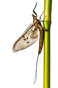 Mayfly, Ephemera vulgata