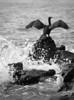 "Temminck's Cormorant<br /> Udo Island, South Korea<br />  <a href=""http://www.birdskorea.org"">http://www.birdskorea.org</a>"