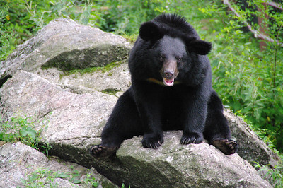 "Asiatic Black bear ""Half-Moon bear"" Jirisan, South Korea"