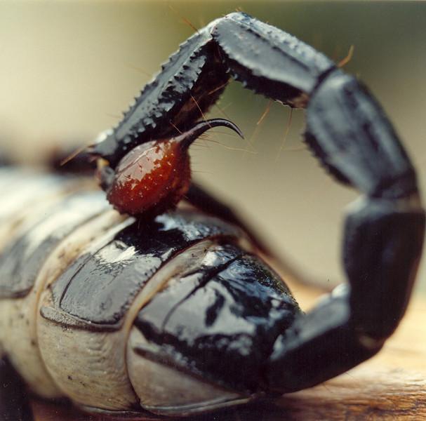 Pregnant Emperor Scorpion