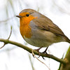 Robin - Erithacus rubecula.