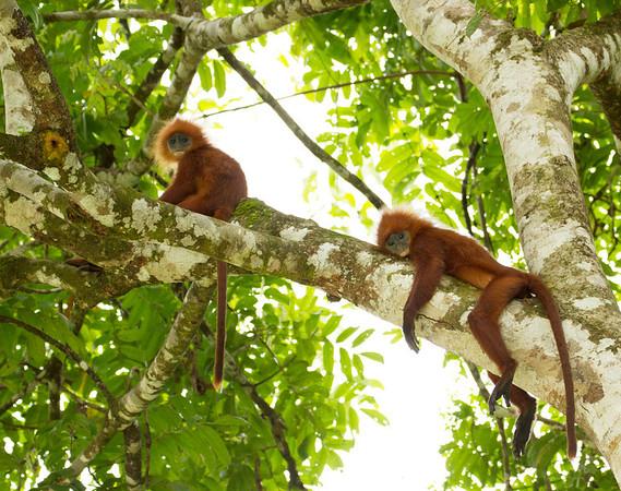 Red Leaf Monkeys
