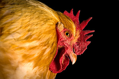 Cockerel (Gallus gallus)