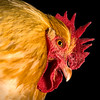 Cockerel (Gallus gallus)