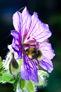 Buff Tailed Bumble Bee - Bombus terrestris on a Geranium