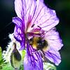 Buff Tailed Bumble Bee - Bombus terrestris on a Geranium