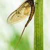Mayfly (Ephemera danica)