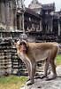 Monkey Kingdom, Angkor Wat, Cambodia