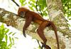 Red Leaf Monkey of Borneo
