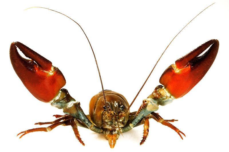 Signal Crayfish - Pacifastacus leniusulus