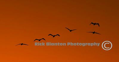 Pelicans heading in