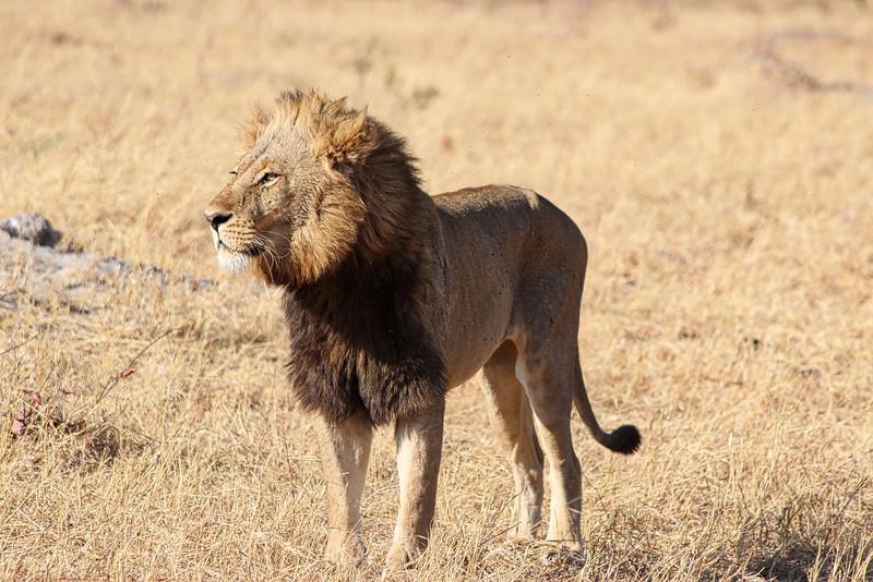 Lonesome Lion