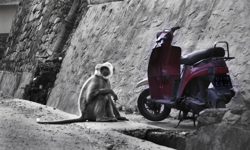 Lost Keys - Holy Hanuman monkeys excell at living amongst their human relatives, yet moto keys still get lost in the streets of Rishikesh, India