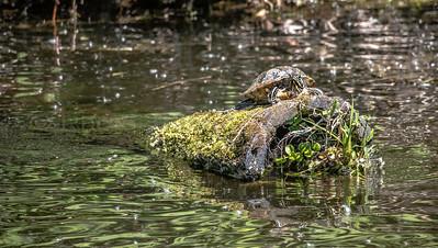 Lake Turtle at  Log Boom Park in Kenmore, WA 05/28/2017