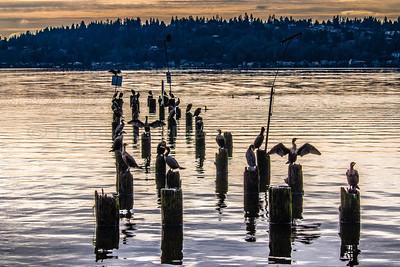 Double-crested Cormorant on Lake Washington, in Kenmore, WA 12/29/2015