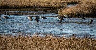 Herons at the Edmonds Marsh. Edmonds, WA 12/28/2016