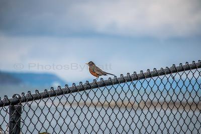 A Male American Robin (Turdus migratorius). 03/05/2017
