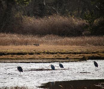 A lone Coyote in the Edmonds Marsh. Edmonds, WA 12/28/2016