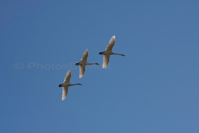 Canadian Snow Geese in flight over the Skagit Valley. 03-08-2015