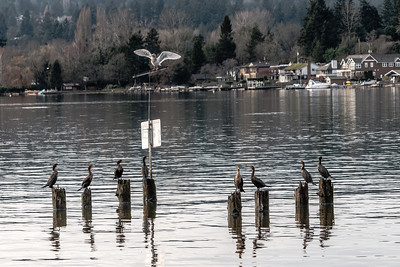 Double-crested Cormorant on Lake Washington, in Kenmore, WA